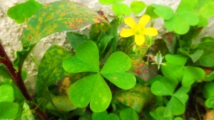 Clover and Yellow Flower