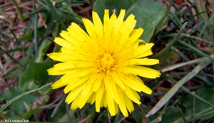 Dandelion copy