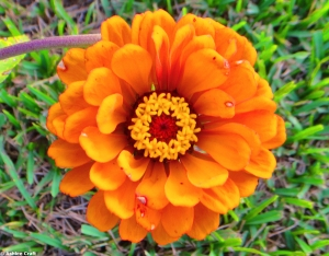 Orange Daisy copy