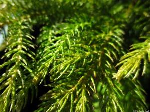 Pine copy