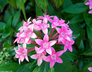 Pink Allum1