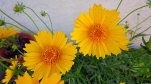 Yellow Daisies 1