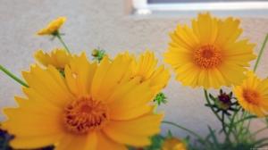 Yellow Daisies 2